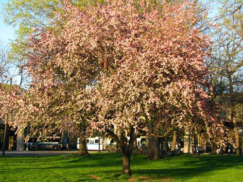 Prunus_kanzan