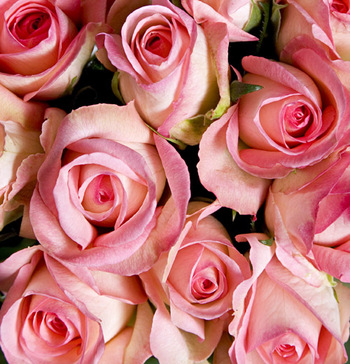 Growers_selection_roses_pink_2
