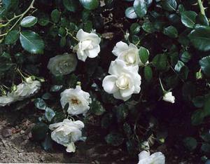 The_guerilla_gardner_roses_1_2